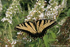 #5219 A yellow swallowtail butterfly.  