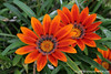 #6462 Gazania