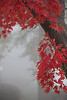 #8819, Red Maple Tree in Fog