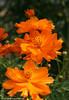 IMG_5240, Orange Cosmos (cosmos sulphureus) Family: Asteraceae/Compositae (aster/daisy Family)